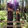 Majavan järsimät puut, teksti Pienikin voi saada aikaan jotain suurta ja hienoa